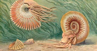 Ammoniten-Stücke